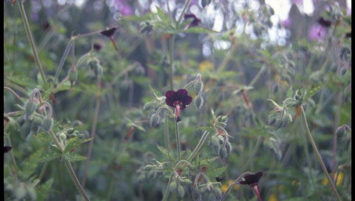 Geranium sinense