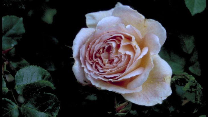 Rosa 'Abraham Darby'