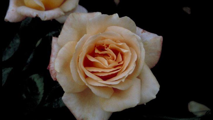 Rosa 'Atlantic Star'