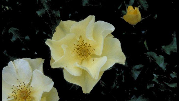 Rosa 'Berendina'