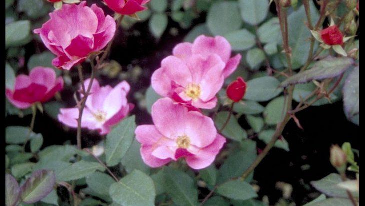 Rosa 'Betty Prior'