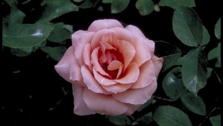 Rosa 'Blessings'