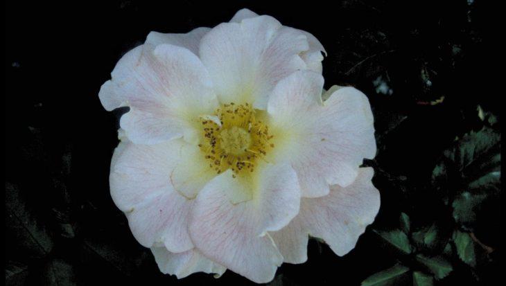 Rosa 'Bouquet Vanille'