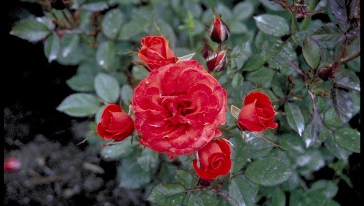 Rosa 'Briant Hill'