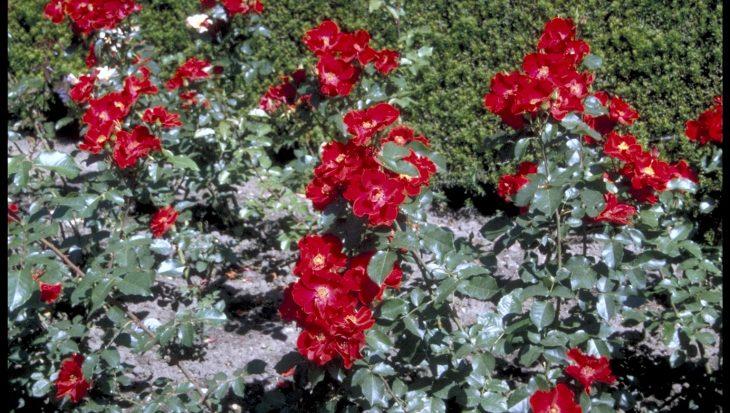 Rosa 'Cappa magna'