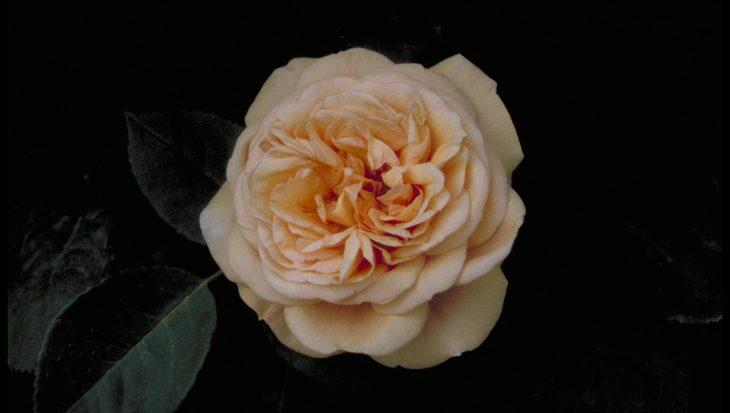 Rosa 'Charles Austin'