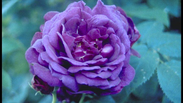 Rosa 'Chianti'