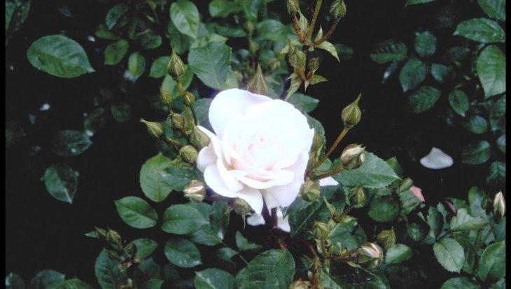 Rosa 'City of London'