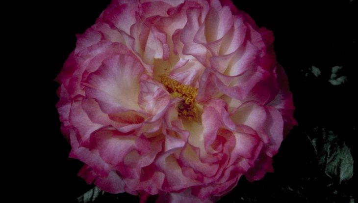 Rosa 'Colbert'