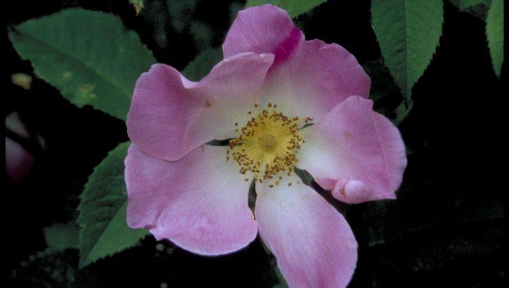 Rosa 'Complicata'
