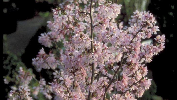 Prunus nipponica 'Ruby'