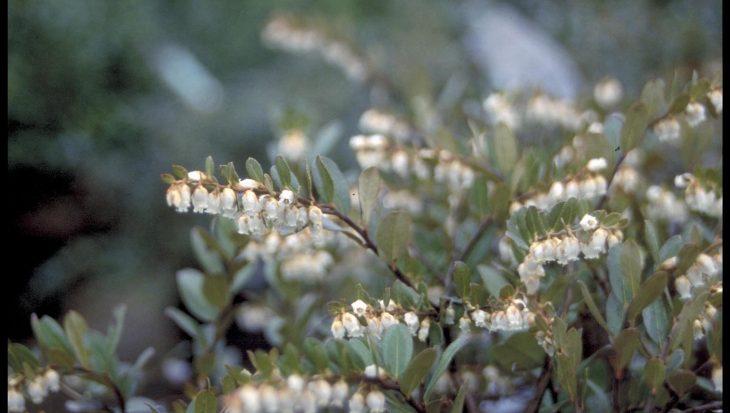 Chamaedaphne calyculata 'Nana'
