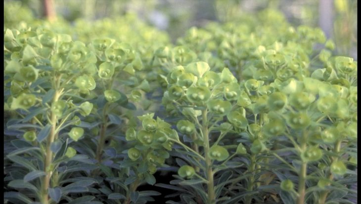 Euphorbia 'Redwing'
