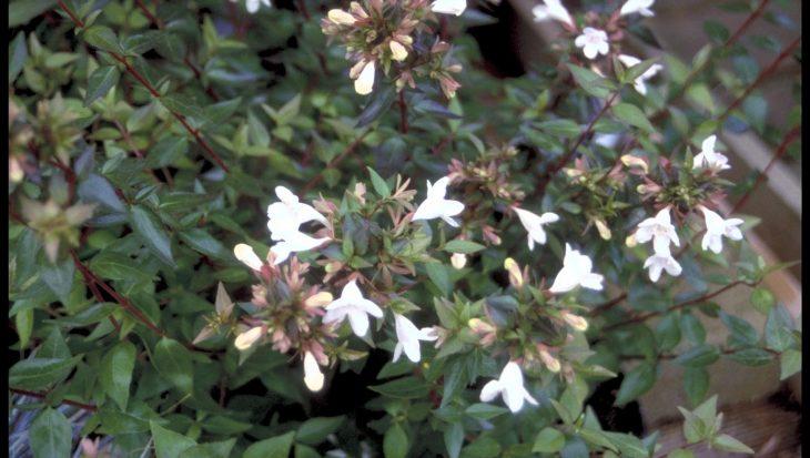 Abelia grandiflora 'Sherwood'