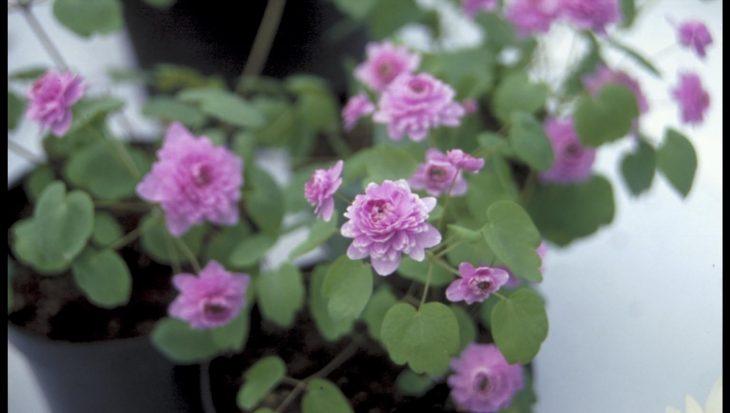Anemonella thalictroides 'Dubbel Roze'