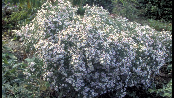 Aster lateriflorus 'Valentin'