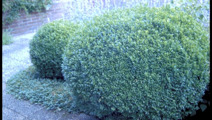 Buxus sempervirens 'Bol'