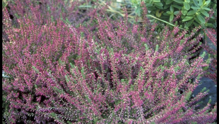 Calluna vulgaris 'Marlies'
