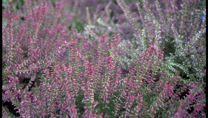 Calluna vulgaris 'Roswhita'