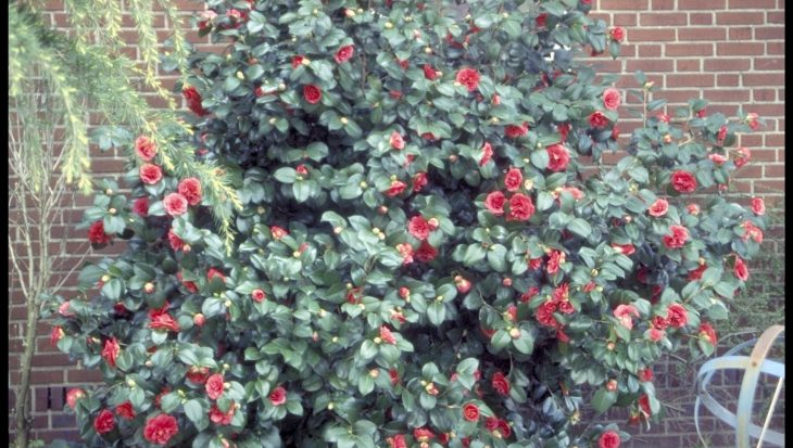 Camellia japonica 'Matthotiana'