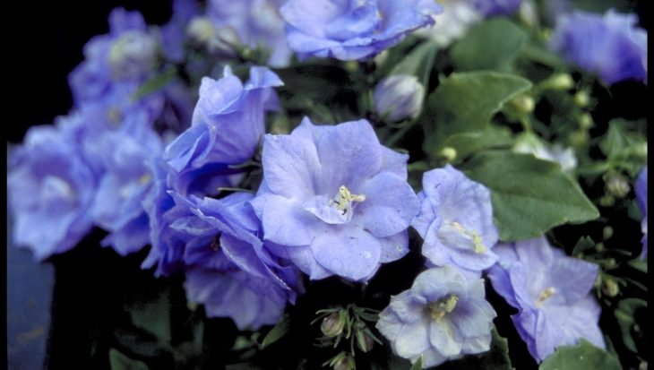 Campanula carpatica 'Blue Wonder'