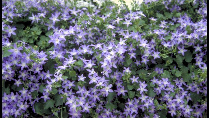 Campanula poscharskyana 'Blue Star' (R)