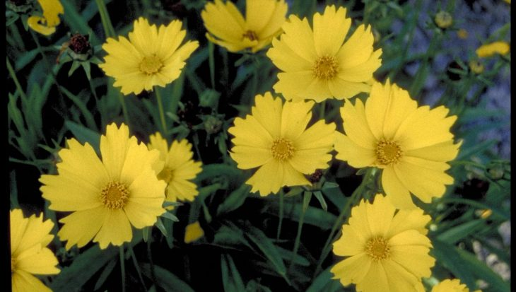 Coreopsis grandiflora 'Flying Saucers'