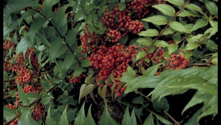 Coriaria japonica