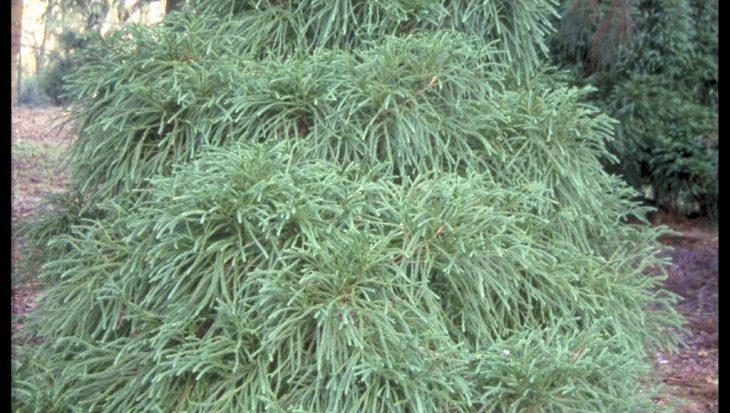Cryptomeria japonica 'Globosa'