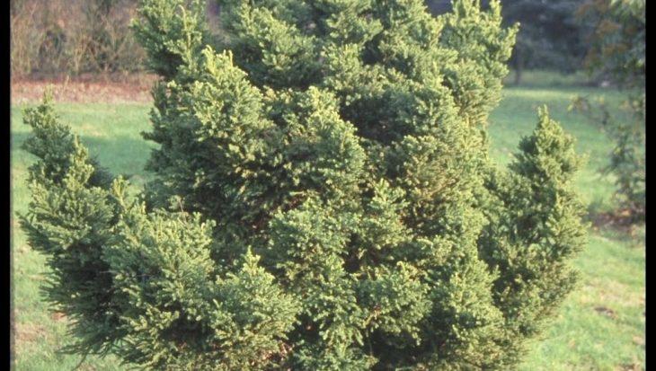 Cryptomeria japonica 'Pygmaea'