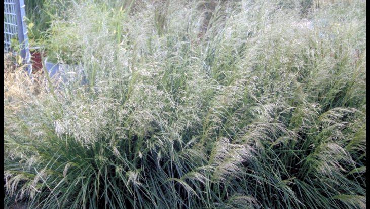 Deschampsia cespitosa 'Goldstaub'