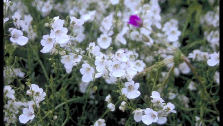 Diascia 'Ice Cracker'