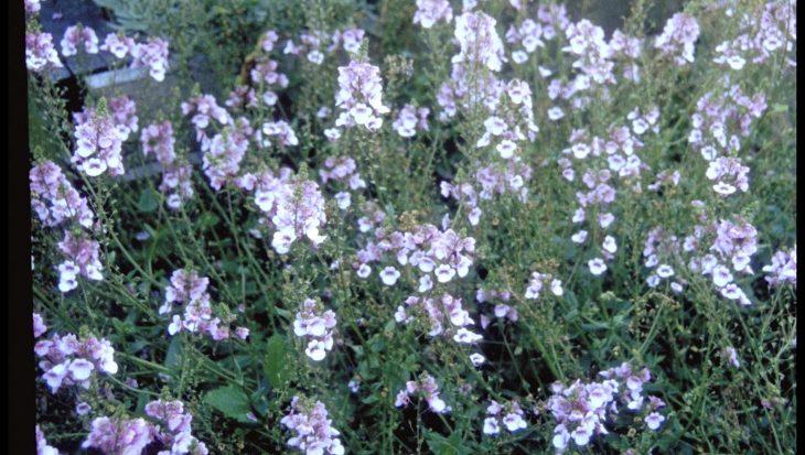 Diascia 'Lilac Belle'