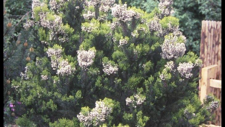 Erica arborea 'Alpina'