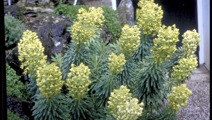 Euphorbia characias 'Lambrook Gold'