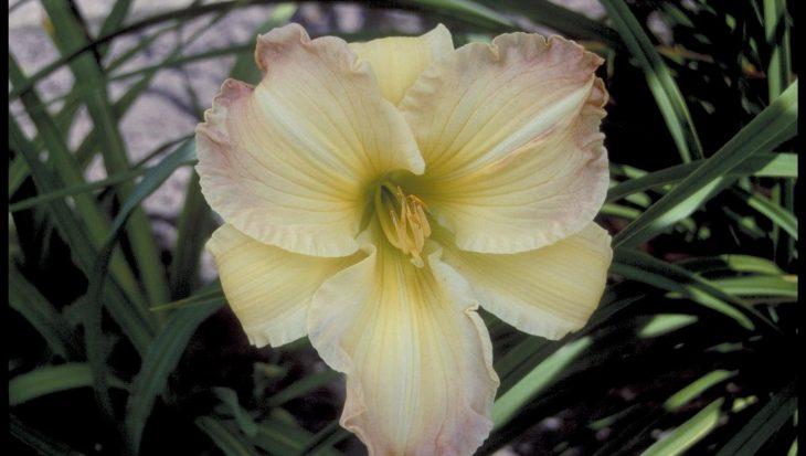 Hemerocallis 'Beautiful Edgings'