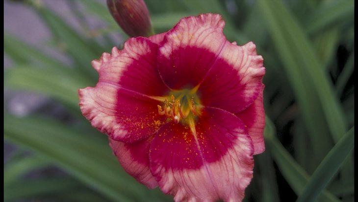 Hemerocallis 'Dragon's Eye'