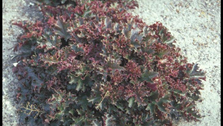 Heuchera 'Crimson Curls'