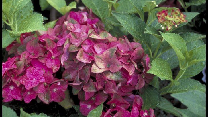 Hydrangea macrophylla 'AB Green Shadow'
