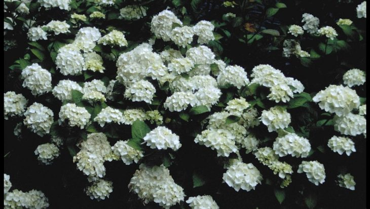 Hydrangea macrophylla 'Mme E. Mouilliere