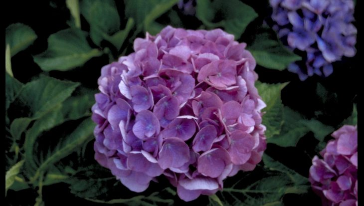 Hydrangea macrophylla 'Renate'