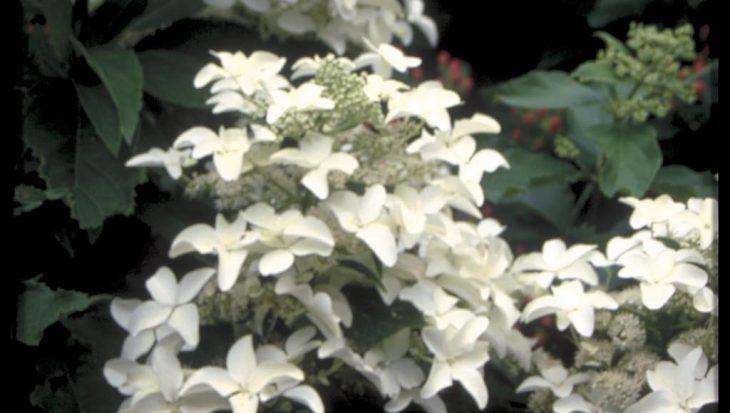 Hydrangea paniculata 'Starlight Fantasy'