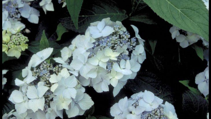 Hydrangea serrata 'Bluedeckle'