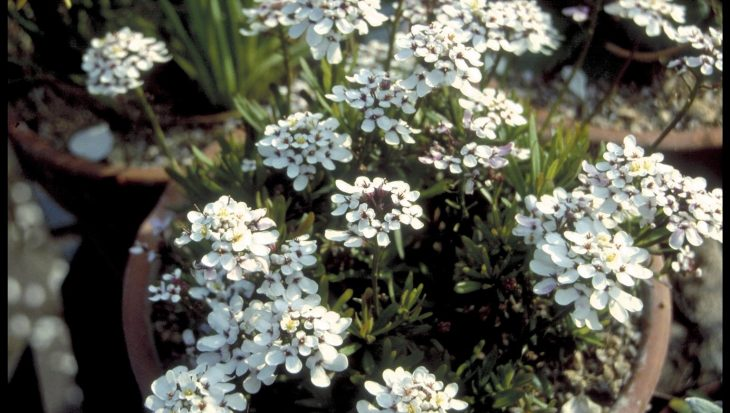 Iberis sempervirens 'Little Queen'