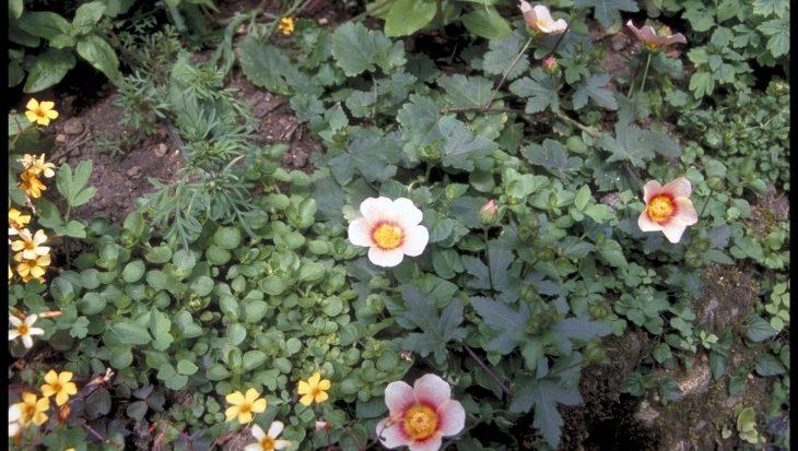 Malvastrum lateritum