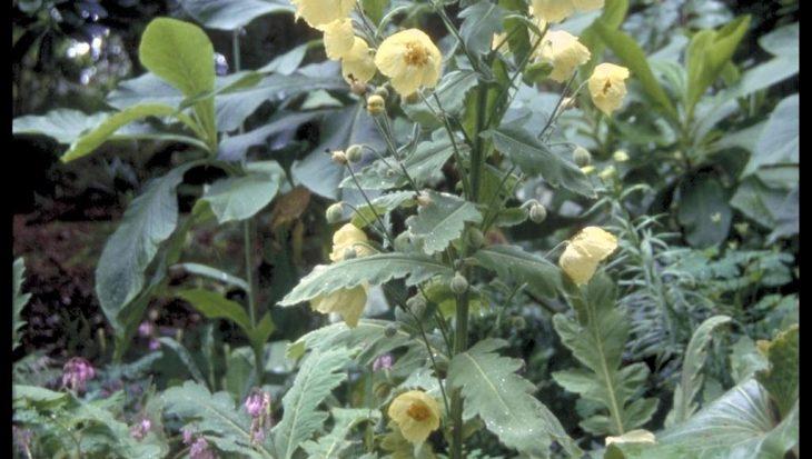 Meconopsis regia