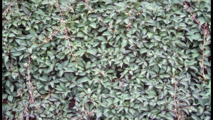 Parthenocissus henryi