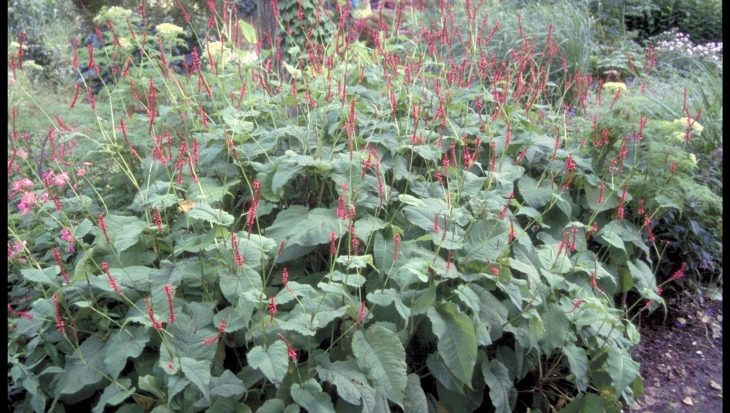 Persicaria amplexicaulis 'Firedance'
