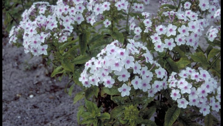 Phlox 'Darwin's Choice'