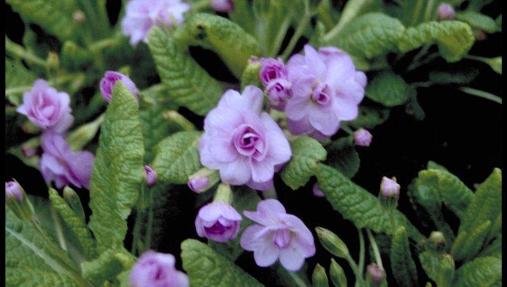 Primula vulgaris 'Quackers Bonnet'